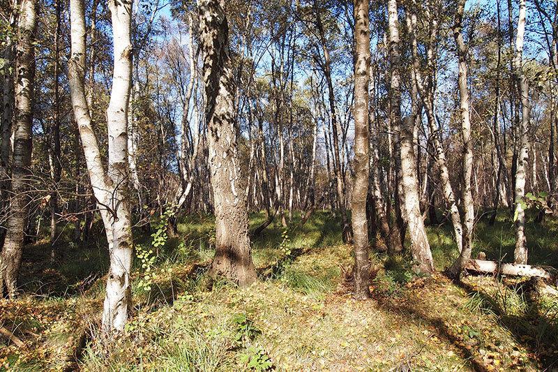 Birken sind immer die ersten Bäume im Moor und bereiten den Boden für die nachfolgenden Eichen und andere Bäume vor. Im Sonnenlicht haben sie einen besonderen Zauber