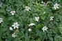 Hier blühen die Anemonen am schönsten…